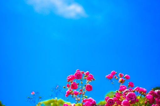 植物 花 花びら 花弁 被子植物 フラワー  自然 ナチュラル ネイチャー 青空 お空 空 蒼穹 蒼空 晴天 ブルースカイ 青い ブルー 雲 バラ 薔薇 ローズ 愛 愛情 美 5月 6月