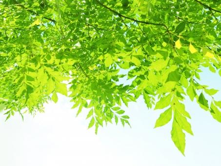 自然 植物 空 木 葉っぱ 葉 新緑 緑 グリーン 初夏 夏 爽やか クリーンイメージ 木漏れ日 光 透過光 森 待ち受け ポストカード コピースペース マイナスイオン 清潔感 雲 若葉 眩しい 背景 バックグランド テクスチャー 5月 白