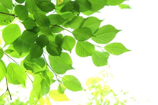 葉 緑  新緑 新芽 日本  自然 植物 屋外 壁紙 背景 背景素材 バックグラウンド 光 青空 環境 エコ   さわやか 爽やか 初夏