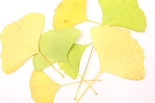 木の葉 枯葉 枯れ葉 落ち葉 落葉 植物 葉 葉っぱ 植物 秋 ナチュラル 白バック 白背景 自然 葉脈 銀杏 いちょう イチョウ