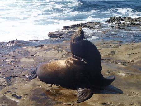 風景 サンディエゴ 海 アシカ 動物 ラホヤ ラ・ホヤ カリフォルニア