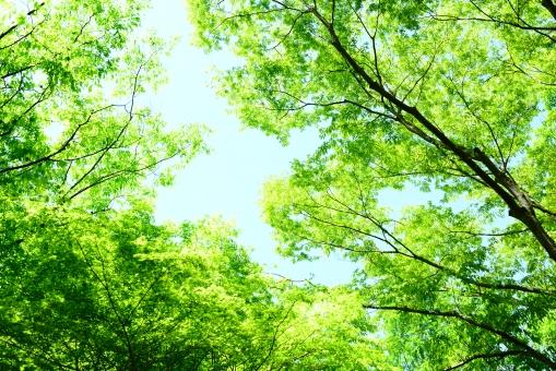 新緑 若葉 森 山奥 輝き 樹木 葉 新鮮 エコ 緑 グリ-ン 自然 植物 風景 春 初夏 四季 季節 澄んだ 健康 息吹 若芽 クリ-ン 明るい 晴れやか 青空 息遣い 光 木漏れ日 枝