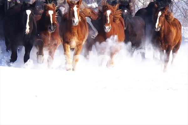 新雪を駆ける十勝牧場の写真