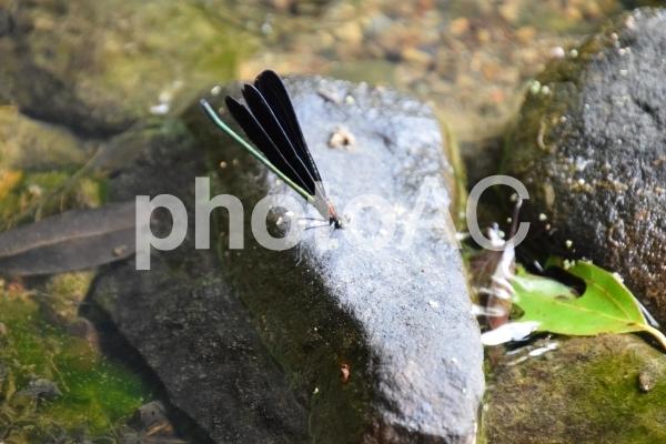 ハグロトンボの写真