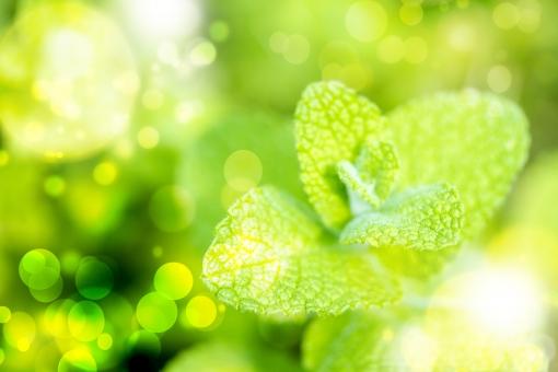 ミント ハーブ グリーン 緑 植物 自然 玉ぼけ 背景 テクスチャ  テクスチャー  イメージ キラキラ 輝き  華やか 爽やか  光