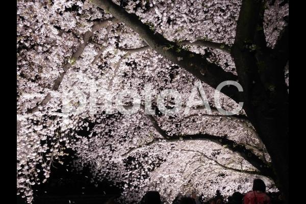 夜桜4の写真
