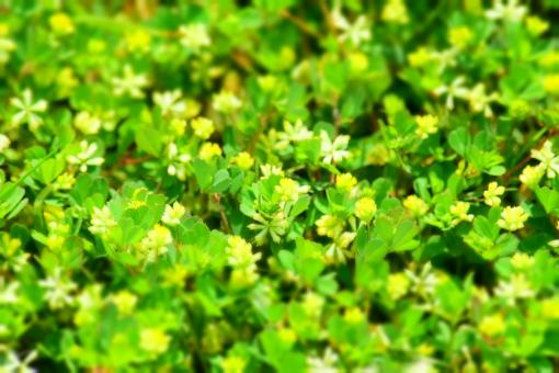 新緑 しんりょく 3月 4月 5月 6月 葉 葉っぱ 緑 黄緑 みどり きみどり 自然 綺麗 爽やか 見上げる 人気 植物 樹木 新鮮 森 林 公園 グリーン 暖かい 季節 若草色 若葉 木洩れ日 木漏れ日 こもれび 明るい 気分 最高 気持ちが良い 空気 クリーン 森林浴 背景 テクスチャ 壁紙 バックグラウンド ヒーリング リラックス 癒し マイナスイオン 初夏 夏 春 リラクゼーション 涼しい セラピー エコ eco アップ 接写 至近距離 小さな花 黄色い花 ミニチュア風 可愛い かわいい 花 小花 黄色 小さい 雑草