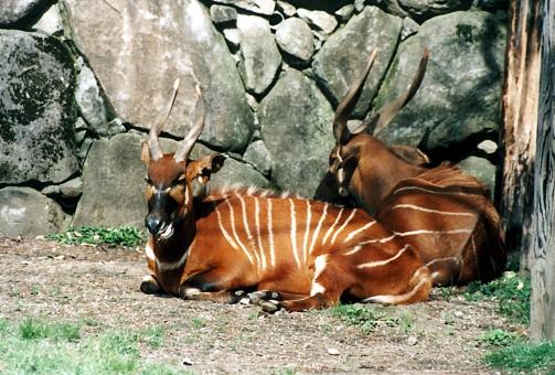 satochi サトチ 神奈川 かながわ カナガワ kanagawa 金沢動物園 金沢 かなざわ カナザワ kanazawa 動物園 どうぶつえん ドウブツエン zoo 日本 にほん ニホン japan ボンゴ ぼんご bongo
