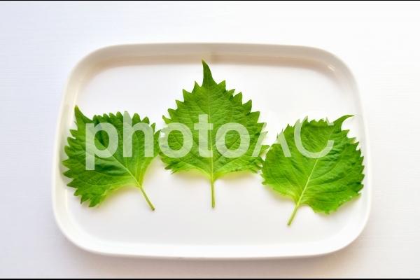 大葉・シソの葉(白背景)の写真