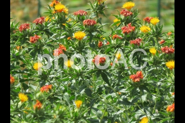 紅花畑の写真