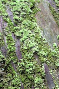 日本 自然 植物 風景 景色 景観 苔 緑 湿気 菌 生える 伸びる 育つ 成長 這う 覆う 幹 木 木の皮 無人 屋外 樹木 山 森 林 森林