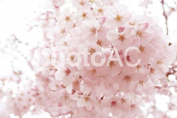 満開の桜の背景の写真