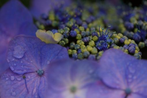 花 植物 紫陽花 あじさい アジサイ 紫 青 6月 梅雨 雨 湿度 湿り気 横位置 余白 マクロ