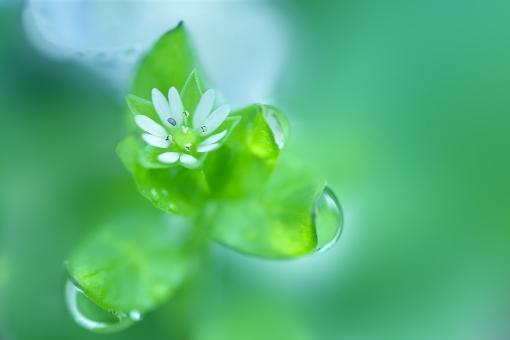 自然 植物 花 白い花 春の花 グリーンに包まれて 水滴 ドロップ 新緑 若葉 新芽 葉っぱ グリーンバック 春 初夏 季節感 暑中見舞い ポストカード 待ち受け画像 コピースペース バックスペース 背景 野外アウトドア 野原 光を浴びて 光透過光 森・林 公園 珍しい花