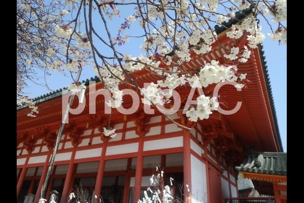 桜と平安神宮の写真