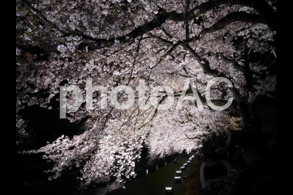 夜桜2の写真