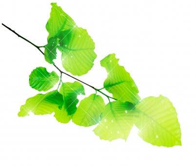 ブナ ぶな 山毛欅 山毛欅林 ブナ林 ぶな林 葉っぱ 木の葉 木葉 はっぱ 木の枝 小枝 自然 風景 木 樹木 森 植物 緑 グリーン エコ エコロジー 環境 eco eco eco 森林 森林浴 森林セラピー 癒し いやし リラックス リラクゼーション やすらぎ 安らぎ 葉 マイナスイオン 健康 美容 ワンポイント 切り抜き きりぬき 背景白 パス マスク クリッピングパス アクセント 飾り 5月 夏 緑 春 初夏 癒し きらめき キラメキ 優しさ やさしい 優しい バックイメージ グラデーション 光 輝き キラキラ