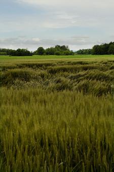 麦 小麦 麦畑 収穫 平原 大地 大平原 自然 大自然 恵み 平地 癒し 田舎 風景 ふさふさ 秋 みのり 風 麦芽 ビール 風景画 外国 荒野 クレーター UFO