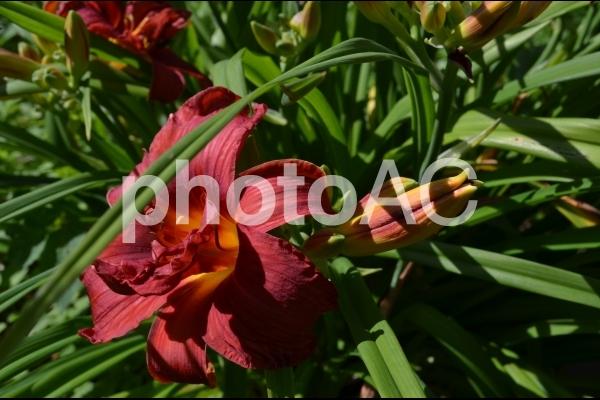 大きな赤い花の写真