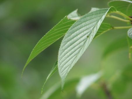 葉 葉っぱ 緑 桜の葉 さくら 桜 新緑 アップ 自然 青葉 若葉 リラックス リラクゼーション 美容 環境 エコ 清涼 揺らぎ 揺らぐ 優しさ 爽やかさ さわやかさ 植物 緑色 みどりいろ みどり 森林浴 マイナスイオン 樹木