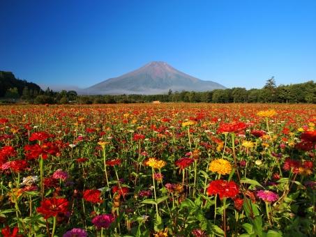 百日草 富士山 晴れ 夏 青空 花