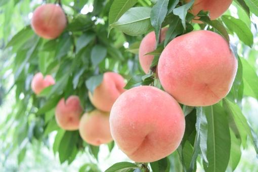 桃の写真素材|写真素材なら「写真AC」無料(フリー)ダウンロードOK