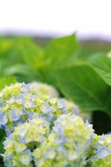 あじさい アジサイ 紫陽花 淡い 淡い色 淡い花 淡い紫陽花 花 植物 緑 梅雨 梅雨時