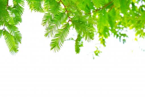 新緑 しんりょく 3月 4月 5月 6月 メタセコイヤ めたせこいや スギ科 葉 葉っぱ 緑 黄緑 みどり きみどり 自然 綺麗 爽やか 見上げる 人気 植物 樹木 新鮮 森 林 公園 グリーン 暖かい 季節 若草色 若葉 木洩れ日 木漏れ日 こもれび 明るい 気分 最高 気持ちが良い 空気 クリーン 森林浴 背景 テクスチャ 壁紙 バックグラウンド ヒーリング リラックス 癒し マイナスイオン 初夏 夏 春 涼しい 景色 風景 セラピー エコ eco