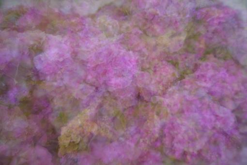 テクスチャー 印象 アジサイ 花 植物 横位置 梅雨 紫 ピンク 淡い 紫陽花 余白 背景 あじさい 季節 手紙 湿度