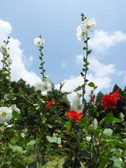 花 夏の花 植物 夏 初夏 7月 田舎 いなか 材料 素材 背景 風景 自然 横 たくさん 空 雲 晴れ 晴天