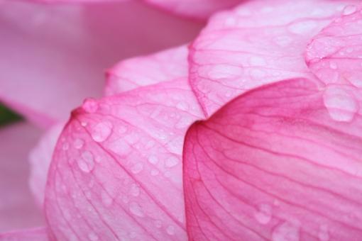 蓮 大賀ハス ハス 蓮池 池 ピンク 蓮の花 蓮の葉 蕾 つぼみ 花びら 葉 幻想的 和風 日本 花 夏 背景 背景素材 アップ 接写 テキストスペース コピースペース コピー 雨 小雨 雨粒 雫 しずく 水滴 雨の雫