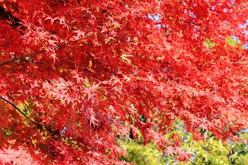 モミジ 紅葉 もみじ 植物 植木 秋 樹 木 樹木 自然 屋外 風景 景色 沢山  植物園 公園 葉っぱ 葉 晴天 青空 茂る 自生 オレンジ 赤  アップ 晴天 昼間 晴れ 細かい