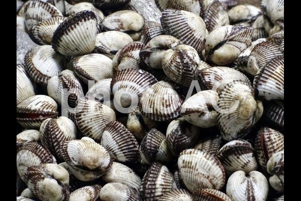 サルボウガイの写真