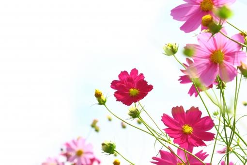 秋の花に関する写真写真素材なら写真ac無料フリーダウンロードok