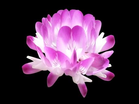 レンゲの花だけ_切り抜きpsdの写真