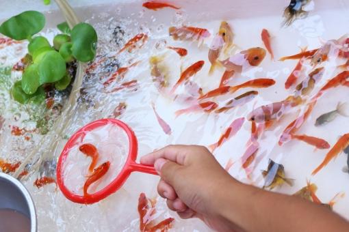 金魚すくい 金魚 キンギョ きんぎょ ホテイアオイ 水草 お祭り 祭り 縁日 遊び 子供 夏祭り 夏 秋 デメキン 出目金 朱色 赤 黒 キラキラ