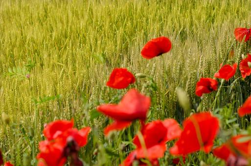 花 赤い花 可愛い花 草花 草 雑草 自然 自然風 植物 揺れる 揺れる花 涼しい 原っぱ 野原 香り 青春 懐かしい 晴れ かけっこ 追いかけっこ かくれんぼ 広い 斜面 草むら 緑 野花 真っ赤