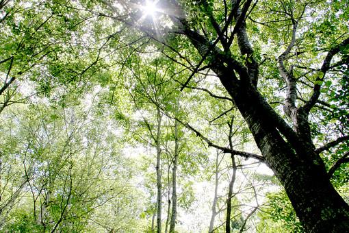 空 外 屋外 景色 風景 森 林 山 樹木 自然 樹 木 植物 葉 緑 木漏れ日 晴れ 晴天 枝 光り 葉脈 若葉 新緑 日差し 青空 幹
