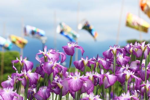 菖蒲 あやめ アヤメ まつり 吹き流し 花 紫 6月 六月 名所 見ごろ 端午の節句 綾目 花菖蒲 ハナショウブ ショウブ アイリス