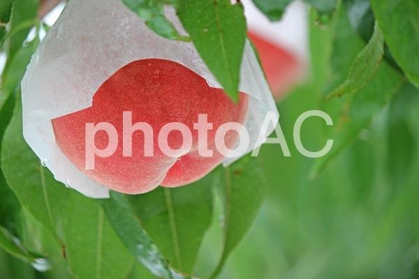 福島の桃2017の写真
