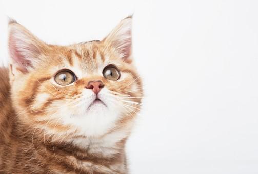 ポーズ 動物 生物 生き物 哺乳類 ほ乳類 猫 ねこ ネコ キャット 子猫 仔猫 仔ネコ 子ネコ 子ねこ 赤ちゃん かわいい 可愛い バストショット バストアップ 見あげる 茶トラ 白背景 白バック グレーバック アップ