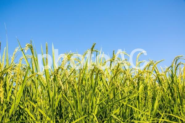 緑の稲穂の写真