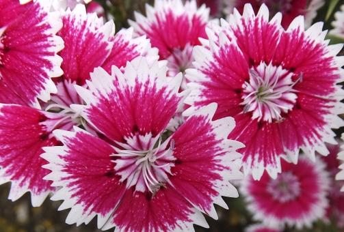 satochi サトチ 花 はな ハナ flower 撫子 ナデシコ なでしこ ダイアンサス dianthus 春 はる ハル spring 秋 あき アキ autumn 赤 あか アカ red ピンク ぴんく pink