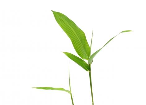 竹 たけ タケ ささの葉 笹の葉 植物 緑 緑色 枝 茎 細い 余白 コピースペース 白バック 白背景 スタジオ 屋内 スタジオ撮影 白 背景 明るい ささ 笹 竹の葉 若葉 新緑 日本 和 和風 夏 シンプル