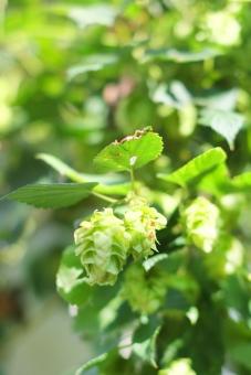 ホップ 植物 ほっぷ 毬花 ビール びーる 麦酒 緑 蔓植物 ツル