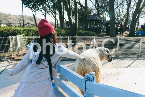 羊を触る女の子の写真