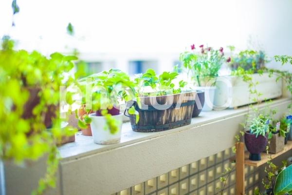 窓際の観葉植物1の写真
