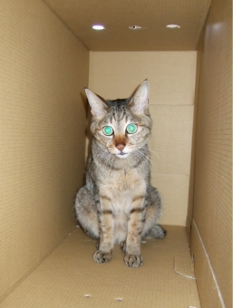 猫 ネコ 光る 輝く グリーン 箱の中 段ボール 秘密基地 隠れ家 引きこもり ひきこもり 孤独 視線 見つめる カメラ目線 光る眼 顔 表情 家猫 飼い猫 室内猫 ちゃこ ペット 動物 生きもの 暗闇 身をひそめる 引きこもる 逃げる 隠れる