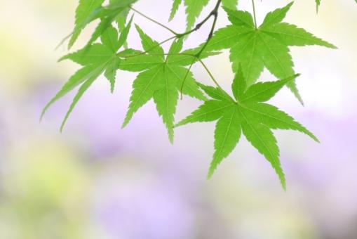 もみじ モミジ 椛 楓 かえで カエデ 緑 紫 パープル 自然 植物 葉 葉っぱ 背景 壁紙 和 和風 コピースペース テキストスペース テクスチャ テクスチャー 新緑 5月 五月 四月 4月 樹木 春 初夏 木