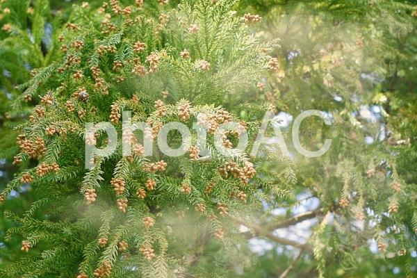 スギ花粉2の写真